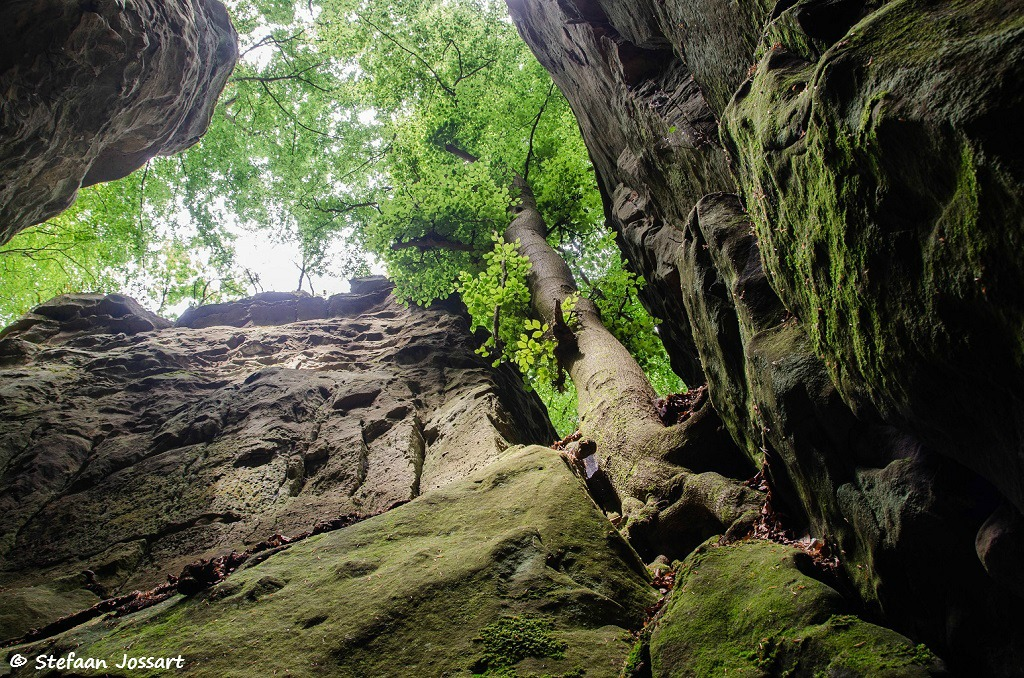 Imposante beuken wortelen tussen de rotsen van de Teufelsschlucht.